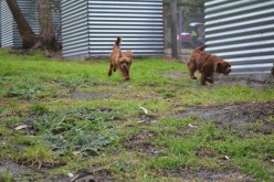 banksia-park-puppies-tanner-17-of-25