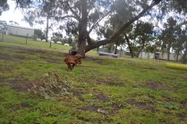 banksia-park-puppies-tanner-2-of-25