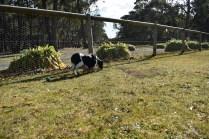 Ludo-Cavador-Banksia Park Puppies - 10 of 41