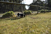 Ludo-Cavador-Banksia Park Puppies - 10 of 41