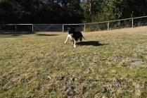Ludo-Cavador-Banksia Park Puppies - 13 of 41