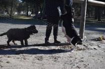 Ludo-Cavador-Banksia Park Puppies - 41 of 41