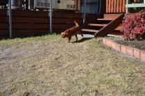 Sheila- Banksia Park Puppies - 1 of 32