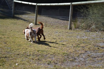 Sheila- Banksia Park Puppies - 10 of 32