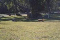 Sheila- Banksia Park Puppies - 24 of 32