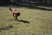Sheila- Banksia Park Puppies - 26 of 32