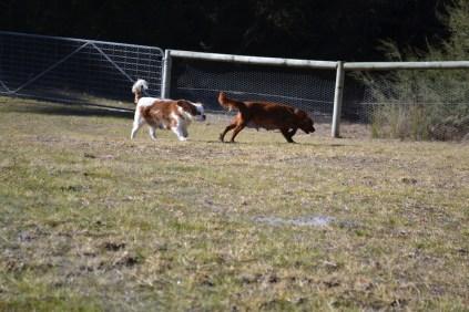 Sheila- Banksia Park Puppies - 29 of 32