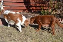 Sheila- Banksia Park Puppies - 6 of 32