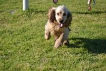 Banksia Park Puppies Jacinta - 18 of 49