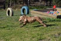 Banksia Park Puppies Jacinta - 40 of 49