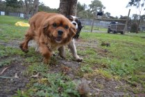 banksia-park-puppies-hannah-21-of-28