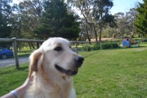banksia-park-puppies-hunny-27-of-31