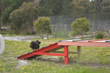 banksia-park-puppies-julia-1-of-14