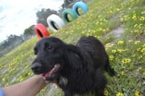 banksia-park-puppies-julia-3-of-14