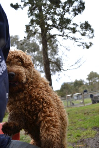 banksia-park-puppies-kojak-12-of-18