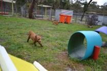 banksia-park-puppies-koko-12-of-29