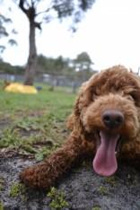 banksia-park-puppies-koko-29-of-29