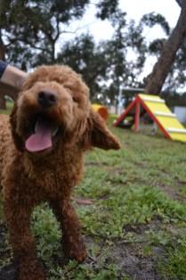 banksia-park-puppies-koko-9-of-29