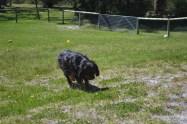 banksia-park-puppies-panky-4-of-25