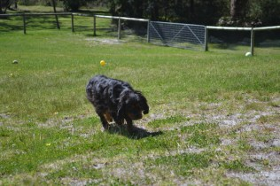 banksia-park-puppies-panky-4-of-25