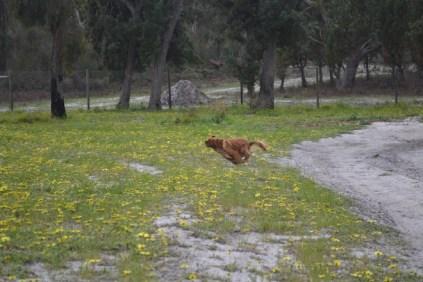 banksia-park-puppies-skyla-1-of-16