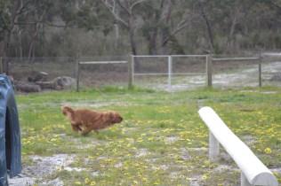 banksia-park-puppies-skyla-15-of-16