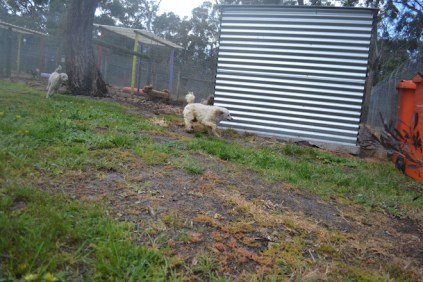 banksia-park-puppies-buddy-1-of-25