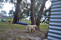 banksia-park-puppies-buddy-18-of-25