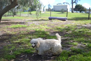 banksia-park-puppies-buddy-22-of-25