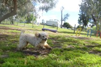 banksia-park-puppies-buddy-24-of-25