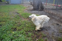 banksia-park-puppies-buddy-3-of-25