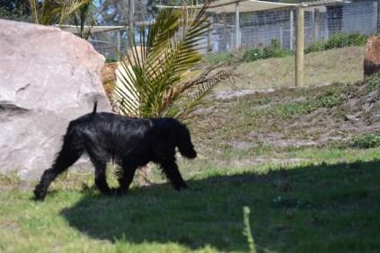 Banksia Park Puppies Jodel - 1 of 27 (11)