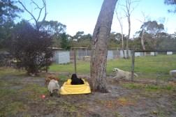 banksia-park-puppies-jodel-15-of-31