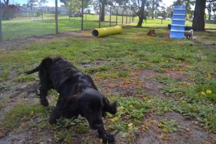 banksia-park-puppies-jodel-31-of-31