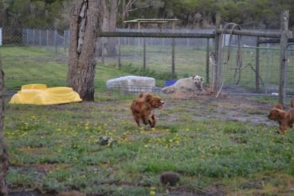 banksia-park-puppies-pippi-11-of-17