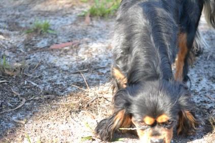 BILL- cavie- Banksia Park Puppies - 4 of 15
