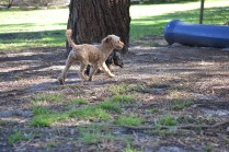 TED-poodle-Banksia Park Puppies - 13 of 19