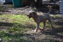 TED-poodle-Banksia Park Puppies - 17 of 19