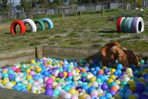 ADULT AGILITY PARK- Banksia Park Puppies - 11 of 117