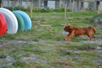ADULT AGILITY PARK- Banksia Park Puppies - 88 of 117