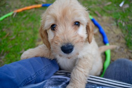 Cavoodles + Hilly's X2 and Hannah's X1 Foster Pups - 1 of 12