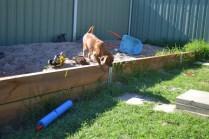 HARLOW- Banksia Park Puppies - 15 of 23