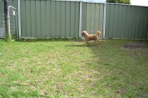 KINGSTON- Banksia Park Puppies - 9 of 16