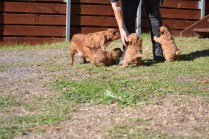 Rozelle and Pups- Banksia Park Puppies - 136 of 142
