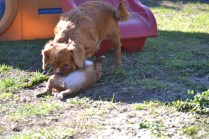 Rozelle and Pups- Banksia Park Puppies - 92 of 142