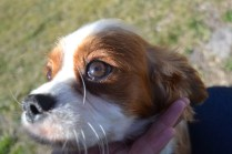 Dasha- Banksia Park Puppies - 6 of 24
