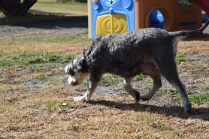 Florrie-Schnauzer-Banksia Park Puppies - 8 of 20