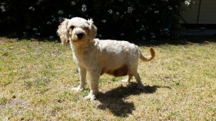 NOODLE- Banksia Park Puppies - 11 of 26