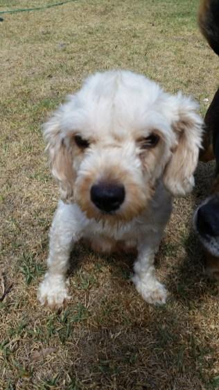 NOODLE- Banksia Park Puppies - 19 of 26