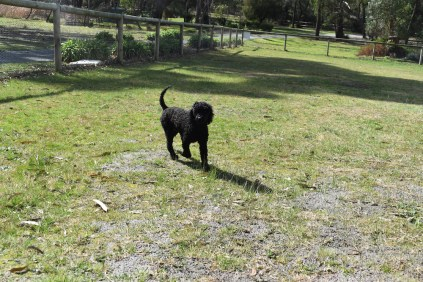 Razzie-Poodle-Banksia Park Puppies - 1 of 34